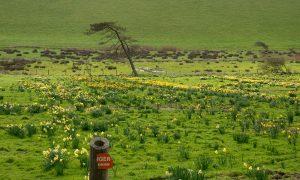 Bantham daffodil field