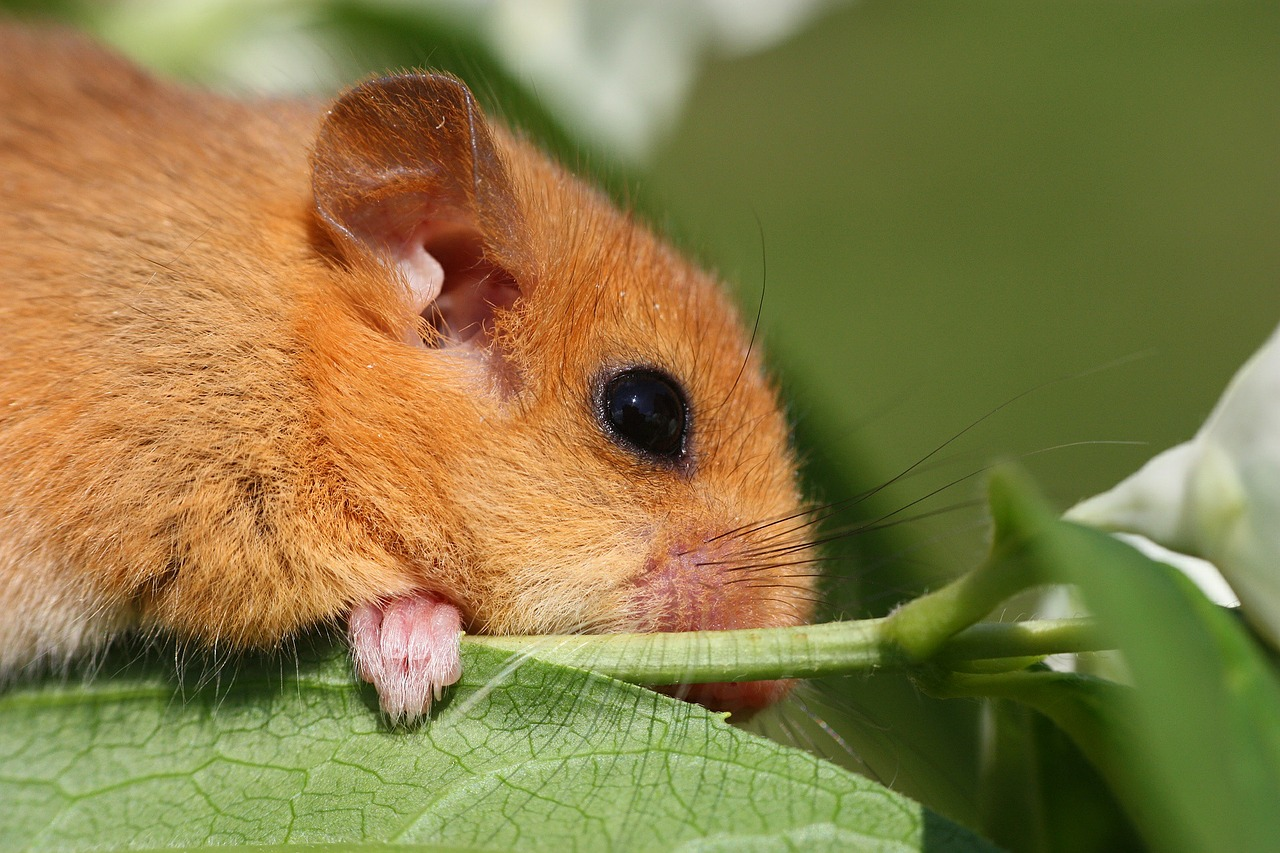 a doormouse protected species